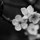 Spring Flowers in Black and White by Catalina Negoita