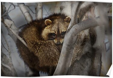 Raccoon in Tree by Michael Cummings