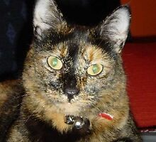 Tortoiseshell Cat by damonsphotos