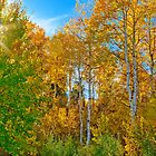 Aspen with Sunburst in Idaho by Forrest  Ray