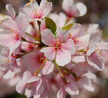 Cherry Blossom by Shane Jones