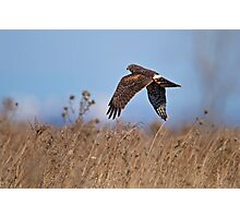 Hunting Harrier Photographic Print