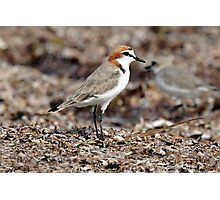 Red-capped Plover taken at Chilli Beach, Cape York. Photographic Print