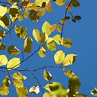 Yellow Birch Leaves by Sharon Woerner