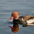 Red-crested Pochard on blue water by Doddery