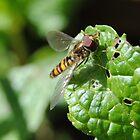 Marmalade Hoverfly by onlyricky