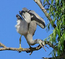 Young heron by bobby1