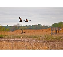 Three Geese in Flight Photographic Print