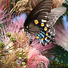 Pipevine Swallowtail Butterfly in Mimosa&#x27;s Silky Blossoms by Jean Gregory  Evans