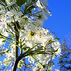 Pear Tree Blooms by barnsis