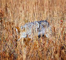 Coyote Hiding in Grass - Lamar Valley, Yellowstone by laurasonja