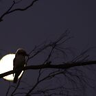Late Night Kookaburra by saltbushbill