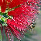 Another Bottlebrush and Bee! by Julie Sleeman