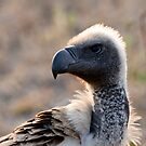 White Backed Vulture Close Up  by Michael  Moss
