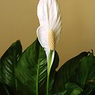 Peace Lily by leftwinger7