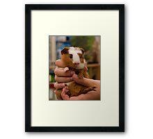 Handful of Baby Guinea Pig Framed Print