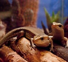 Two Orange Throated Skinks by ArianaMurphy