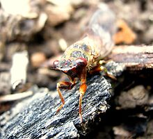 Little Strolling Cicada by Vanessa Barklay
