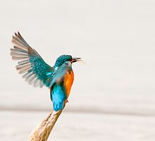 Alighting Kingfisher by Tim Collier