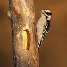 Downy Woodpecker by Bill McMullen