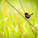 Red-Backed Fairy Wren by Akunde11