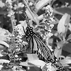Butterfly by psphotogallery