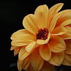 Yellow Dahlia by Matthew Folley