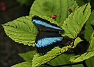 Morpho Butterfly on Leaves by Sandy Keeton