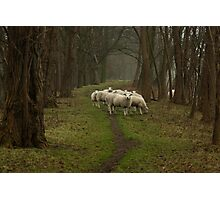 Sheep on the dike Photographic Print