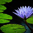 purple water lily, after a rain by Gerry Daniel