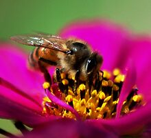 A Honeybee on Cosmos flower by loiteke