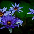 water lilies after a refreshing rain by Gerry Daniel