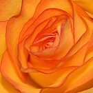 Orange Rose by Graham Taylor