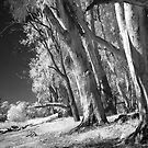 River Gums - Infrared by Hans Kawitzki