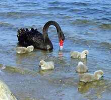 Black Mother Swan and her 5 cygnets by TimLloyd