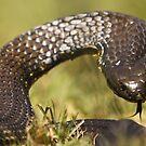 Eastern Tiger Snake by Steve Bullock