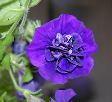 Petunia by vbk70