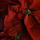 Red Poinsettia by Ann Garrett
