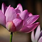 lotus blossom, in the pink by Gerry Daniel