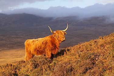 Highland Cattle Landscape by naturalnomad