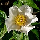White Rugosa Rose, Dunedin Botanical Gardens. NZ by johnrf