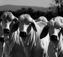Brahman cattle by Tania  Raine