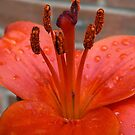 Lily Stamen - After the Rain by Trevor Kersley