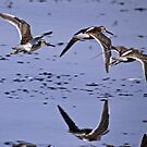 Long-billed Dowitchers Taking off at Delta Ponds  by Chuck Gardner