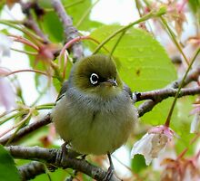 The Branch Manager! - Silvereye - NZ by AndreaEL