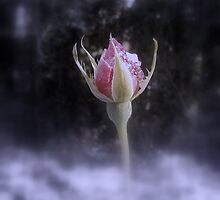 rosebud in the snow 3, tinted by Dawna Morton
