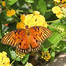 Gulf fritillary butterfly at home by jozi1