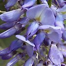 Wysteria beauty by Photos - Pauline Wherrell