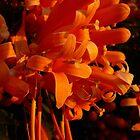 Flame Vine 'Pyrostegia ignea' by aussiebushstick