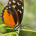 Heliconius hecale - Tiger Longwing  by PAPILON